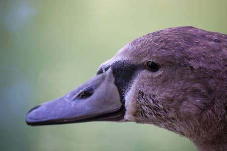 Close up portrait view of young grey swan photo