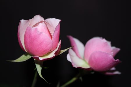 Two pink roses on a black background