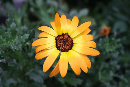 A beautiful orange daisy with bright petals Stock Photo