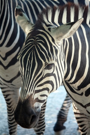 Close-up portrait of a Zebra Stock Photo
