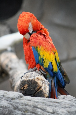 The Scarlet Macaw (Ara Macao), a large, colorful macaw, native to humid evergreen forests in the American tropics