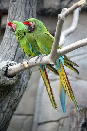 Two Military Macaws (Ara Militaris), large parrots, native to the forests of Mexico and South America Stock Photo