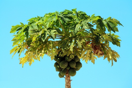 Papaya tree in Zanzibar on a sunny day Stock Photo