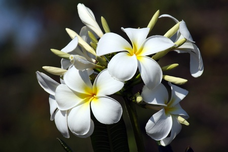 Frangipane flower in Zanzibar on a sunny day Stock Photo