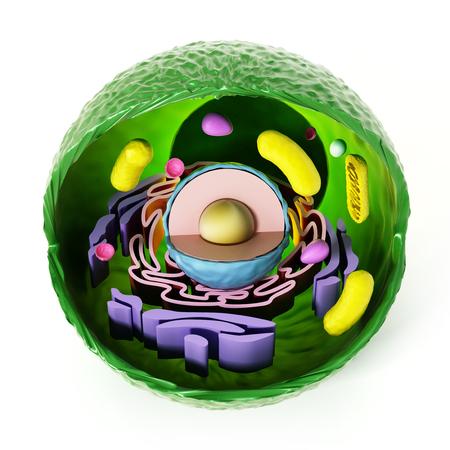 celula animal: anatomía célula animal aislado en el fondo blanco. Ilustración 3D. Foto de archivo