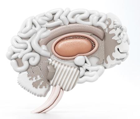 Layered anatomic 3D illustration of human brain. 3D illustration. Stok Fotoğraf