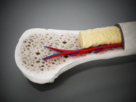 Cross section of a human bone showing bone marrow, spongy bone and blood vessels. 3D illustration.