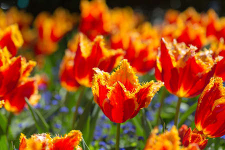 flame thrower red color tulip
