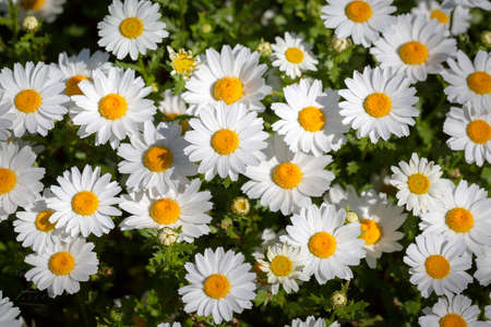 ornamental garden: daisy flower as an ornamental plant in the garden
