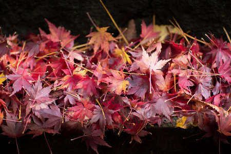 Colorful maple leaves fall.