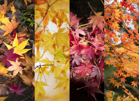 Autumn leaves color changes. Four different sets of Japanese Maple tree leaves. Banco de Imagens