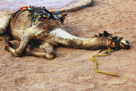weary: Tired camel