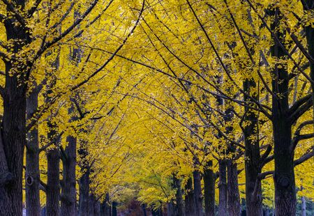 Yellow Leaves of Ginkgo in Autumn at at Nami Island South korea.