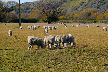 Many sheep beside the road at SOuth Island New Zealand. Foto de archivo