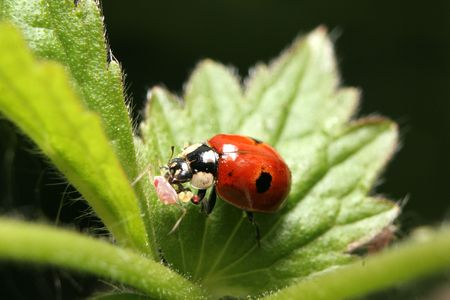 aphid: A two-spotted ladybird eating an aphid on a nettle plant