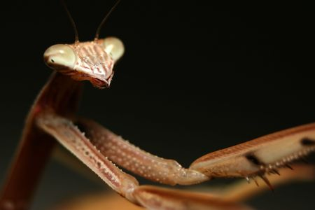 compound eye: A Chinese Mantis (Tenodera aridifolia sinensis) with its arms outstretched into the right of the frame Stock Photo