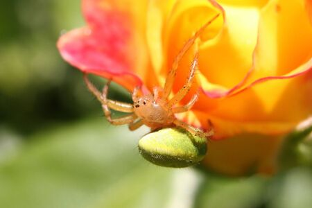 araniella: A Cucumber Spider (Araniella cucurbitina)  suspended under a bright yellow rose