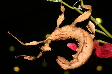 spectre: A Mackleys Spectre Stick Insect suspended from a plant with arms outstretched
