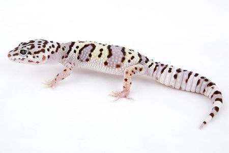 mack: Male MACK Supersnow Leopard Gecko isolated on white background