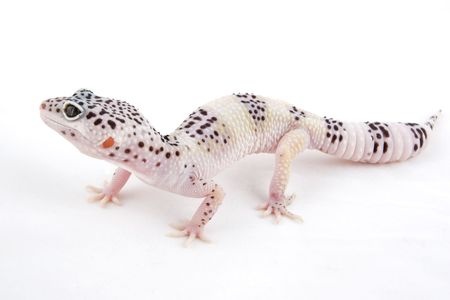 mack: Male MACK Snow Albino Leopard Gecko isolated on white background Stock Photo
