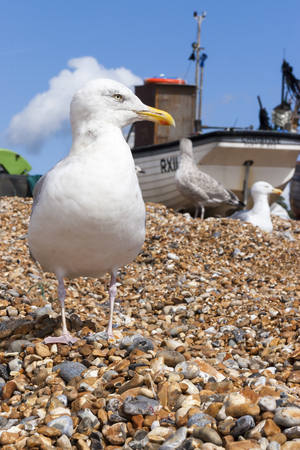 south coast: A Seagull on the beach at The Stade in Hastings on the south coast of England Stock Photo