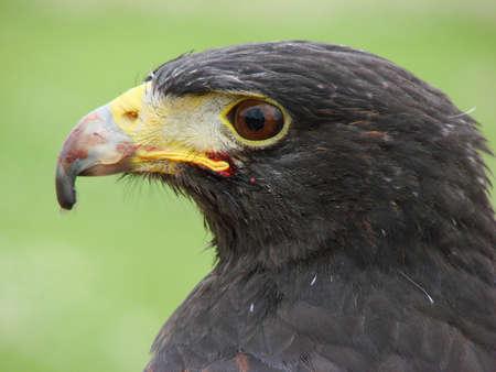 Harris Hawk (parabuteo unicinctus) Close-Up wblood on beak