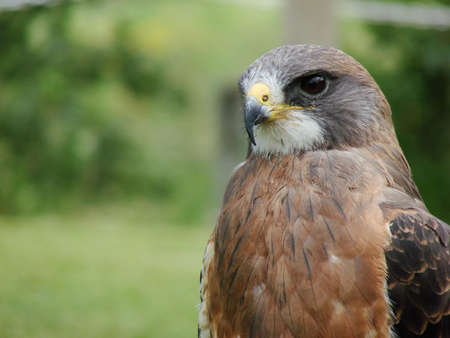 Close-up portrait of Swainsons Hawk with room for text