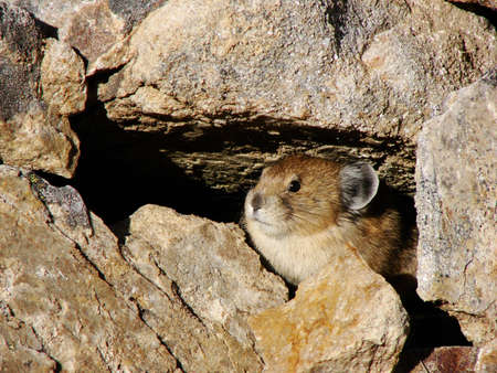 The pika is a small rodent found in high mountain passes. Here he hides in a burrow.