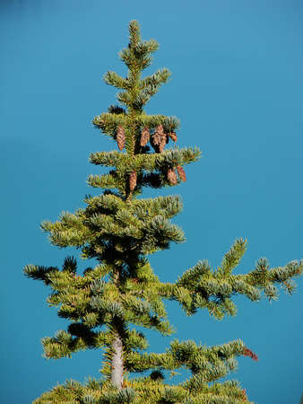 Pine Tree with pinecones in front of turquoise background.