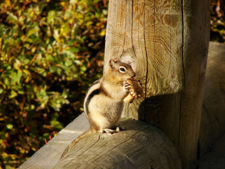 This comical chipmunk eats a mushroom on the side of a bridge. Stock Photo