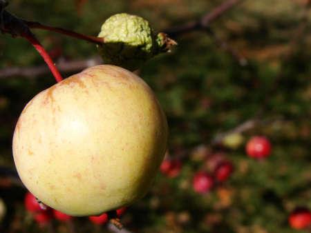 One good apple blossoms beside a green unformed apple. Fruitfly on lower left.