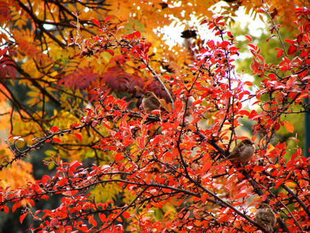 Very colorful fall scene with three small sparrows in a berry bush. Stock Photo