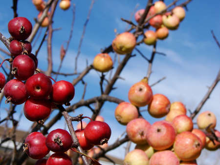 Take your pick of Red or Yellow & Red Apples. This shot features apples on a bright blue fall sky.  Stock Photo