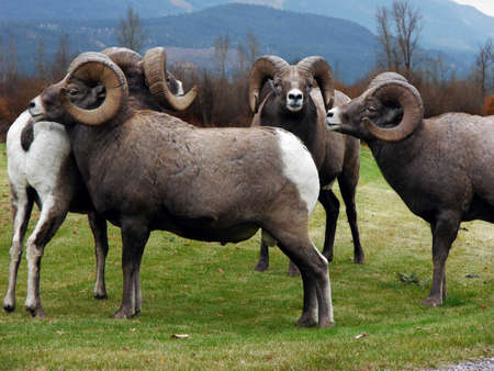 roam: This group of four Rocky Mountain Bighorn Sheep has formed their own square dance.  Stock Photo