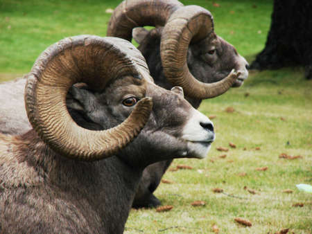 Two rams rest between battles. This photo features a closeup with shallow depth of field.