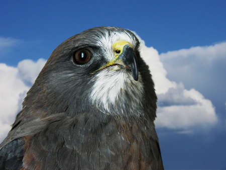 Closeup of Swainsons Hawk with clouds in background.