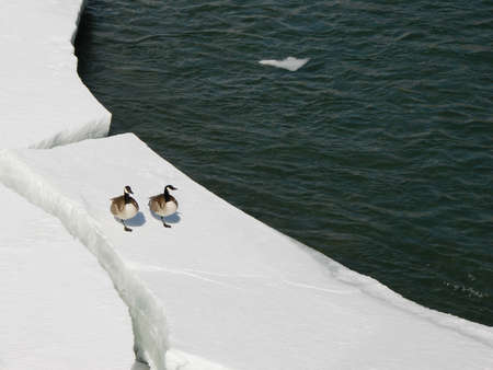 Two Canadian Geese rest on the ice at spring.