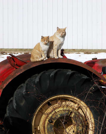 Two orange cats pose on top of a tractor. A serene farm photo.