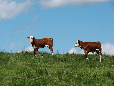 Calves roam in a pasture.