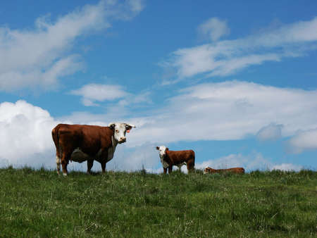 Cow and calf stand on top of a hill in a field.
