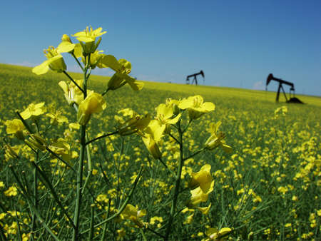Closeup of canola flowers with oil pumps in background.