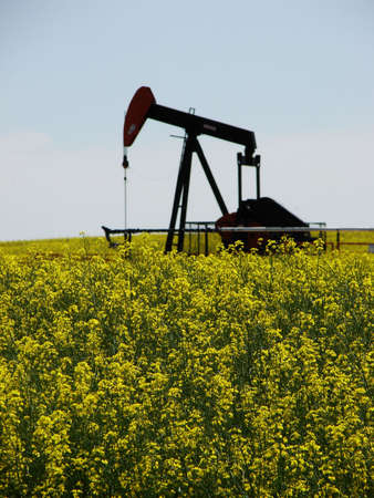 Canola s focus in foreground with oil pumps in background. Stock Photo