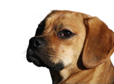 Beagle Pug cross close up. A three-quarter view isolated photograph. This dog looks like its ready to speak.