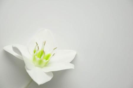 Delicate flower with ticles on a pure white background. Blooming lily bud. Royal flower Background for the site. Flower shop. Greeting wedding card.