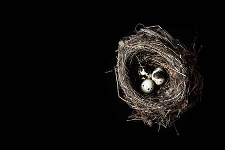 Quail eggs on a dark black background. Bird spotted eggs in a real nest. Several objects. Healthy food.