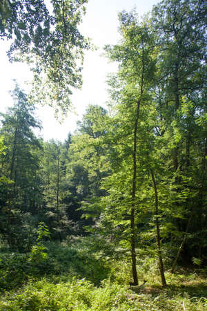 broadleaf: Green Trees in a Wood,  Germany, Europe