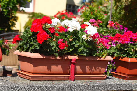 flower box: flower box with red geraniums