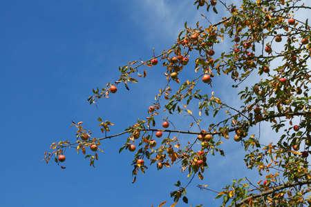 matures: ripe Apples on an apple tree Stock Photo