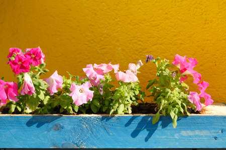 flower box: Blue wooden Flower box with Summer Flowers Stock Photo