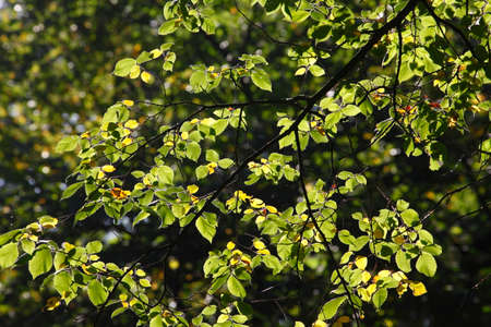 discolored: beech leaves